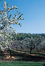Apple Orchards in Somerset
